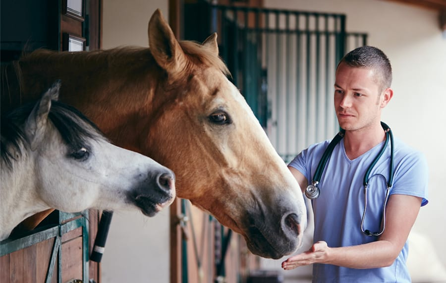 using massage gun on horse veterinarian